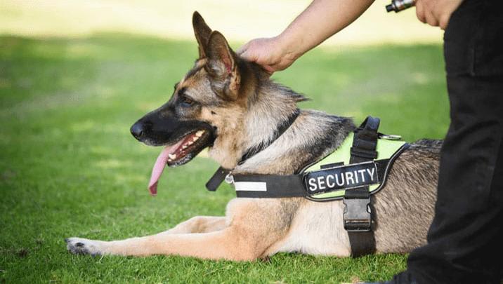 Dog Handling